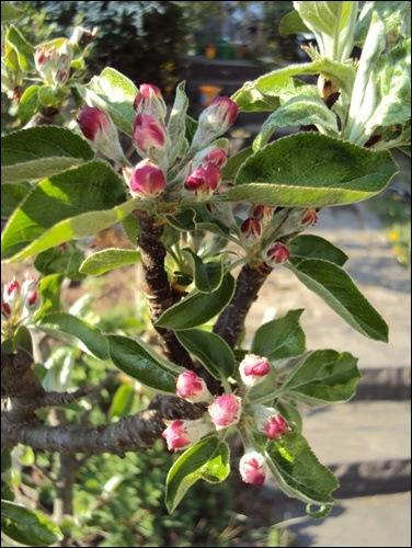 Apfelbaum Blütenknospen