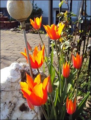 Tulpen orange spitz