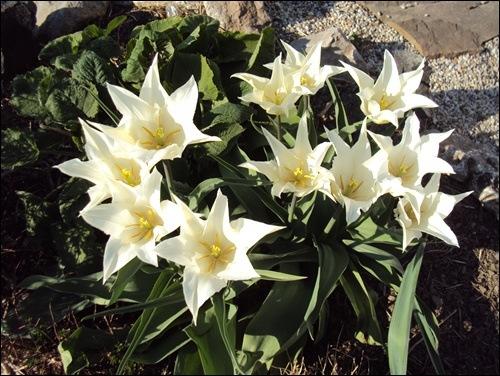 Tulpen spitz