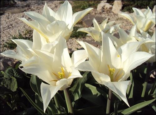 Tulpen spitz a