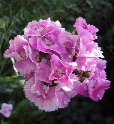 Bartnelke rosa