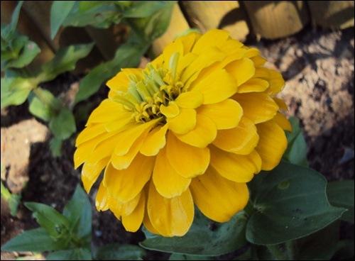 Zinie gelb