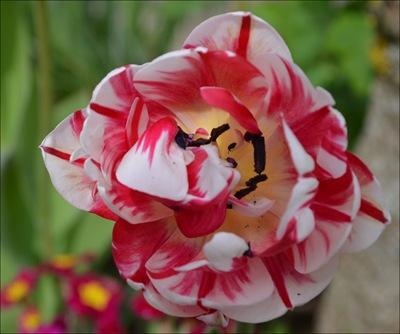 Tulpe noch mal