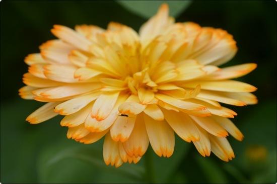 auch Ringelblume