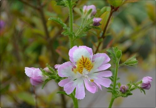 Bauernorchidee in rosa