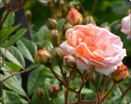 Kletterrose rosa b