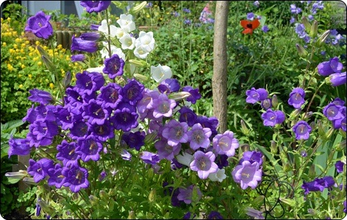 Marienglockenblumen im Beet