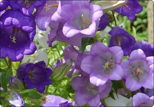 Marienglockenblumen im Beet a