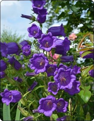 Marienglockenblumen im Beet b