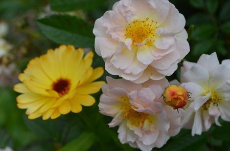 Rose mit Ringelblume
