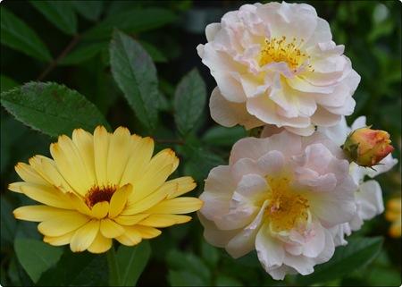 Rose mit Ringelblume noch mal