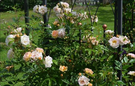 Rosen am Bogen