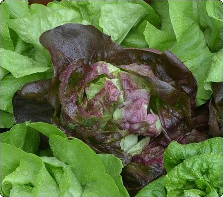 Salat Trotzkopf