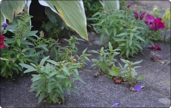 Pflasterpflanzen a