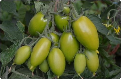 Tomaten 2012