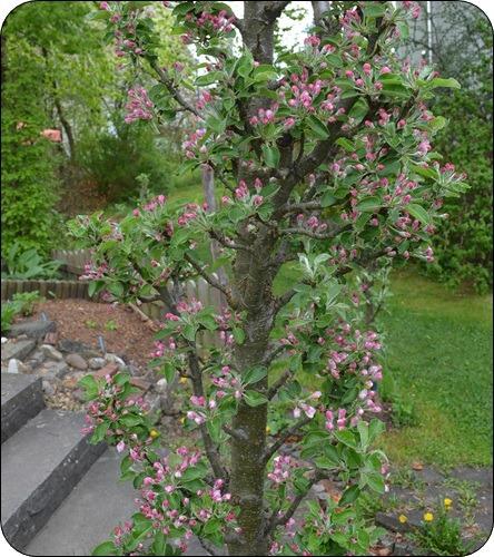 Apfelbaum Säule