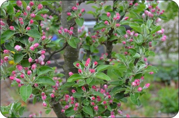 Apfelbaum Säule.