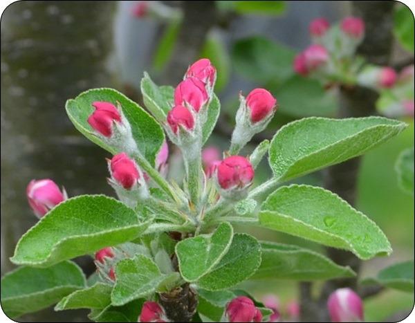 Apfelbaum Säule..