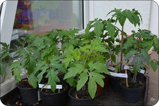 erste Tomatengeneration im Jugendstadium