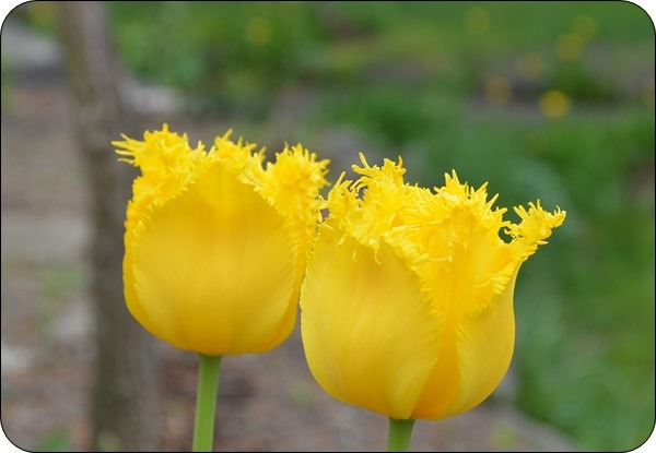 lustige gelbe Tulpe