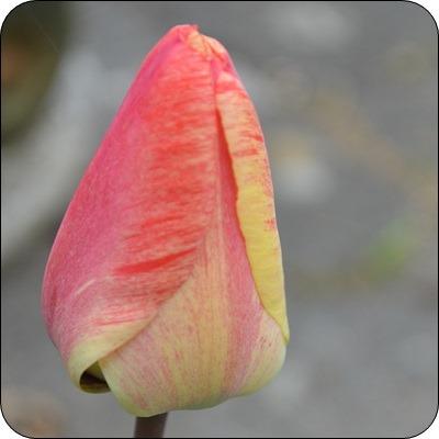 orange Tulpen..