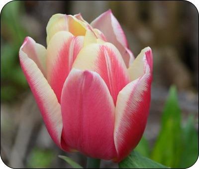 orange Tulpen....