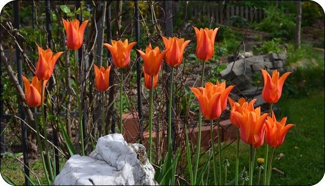 orange Tulpen