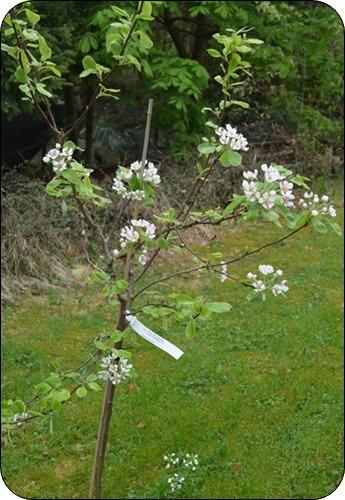 unser Birnbaum blüht.