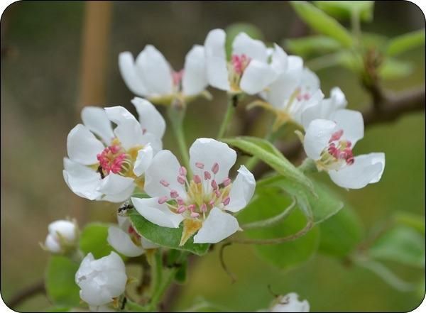 unser Birnbaum blüht