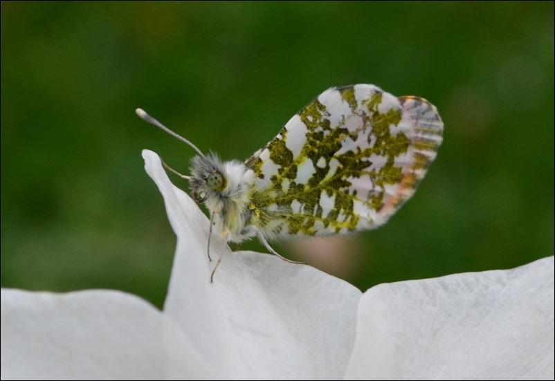 Insektensch